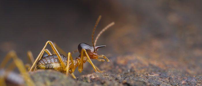 Presence of termites